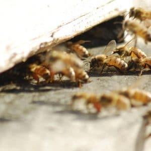 דבורת הדבש - מידע מאתר הדבש של עידו